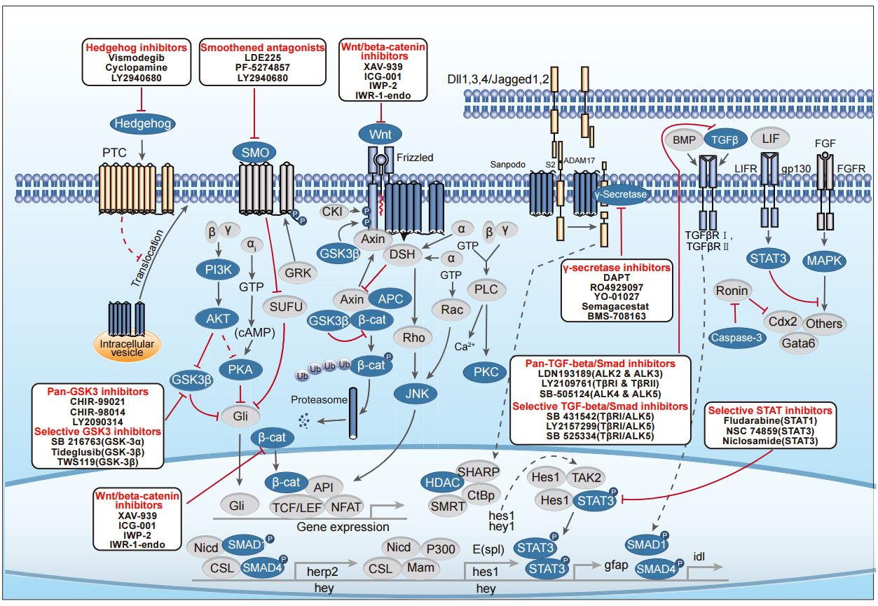 Stem Cells and Wnt Pathway