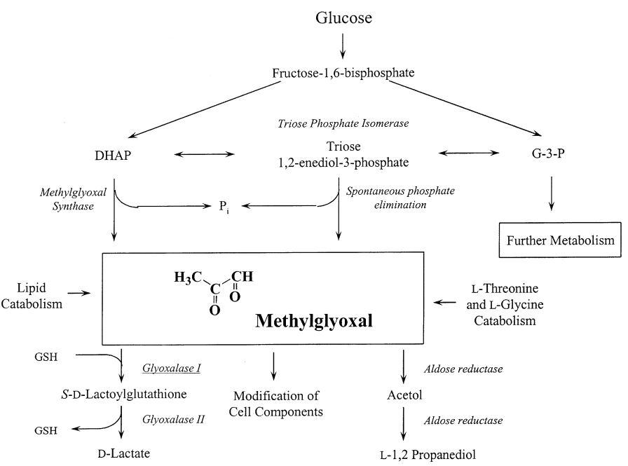 Methylglyoxal